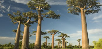 Madagascar-Baobab-Avenue-trip-Madagascar-travel-Madagascar-Baobab-Avenue-hottrip-net