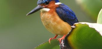Malagasy_Kingfisher_Antananarivo_Madagascar