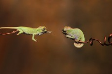 Tiny-Chameleons-Reaching-Out-1600x900-wallpaperz.co